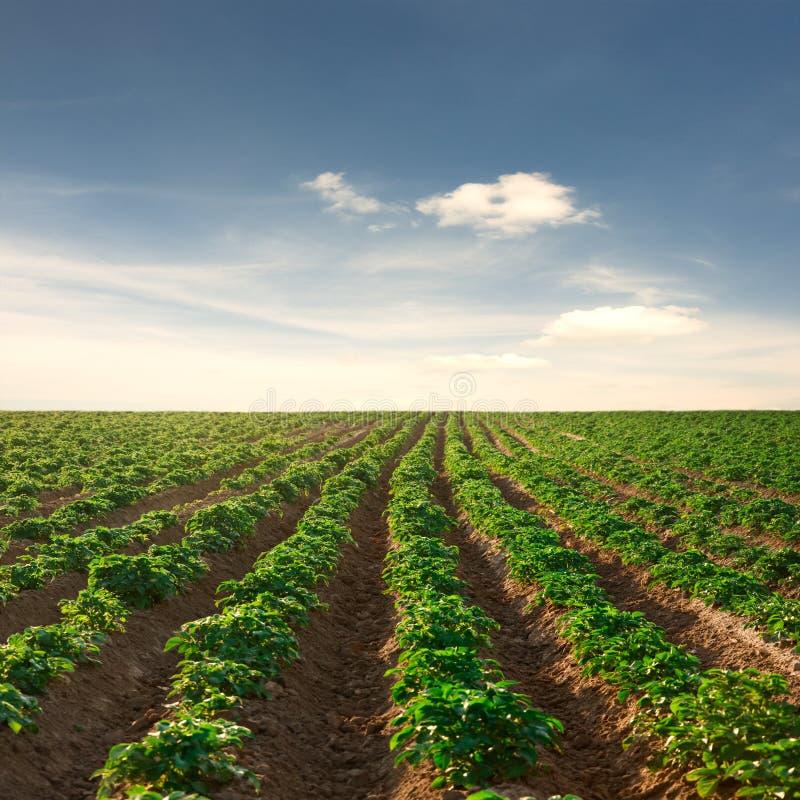 Campo da batata em um por do sol sob o céu azul fotografia de stock