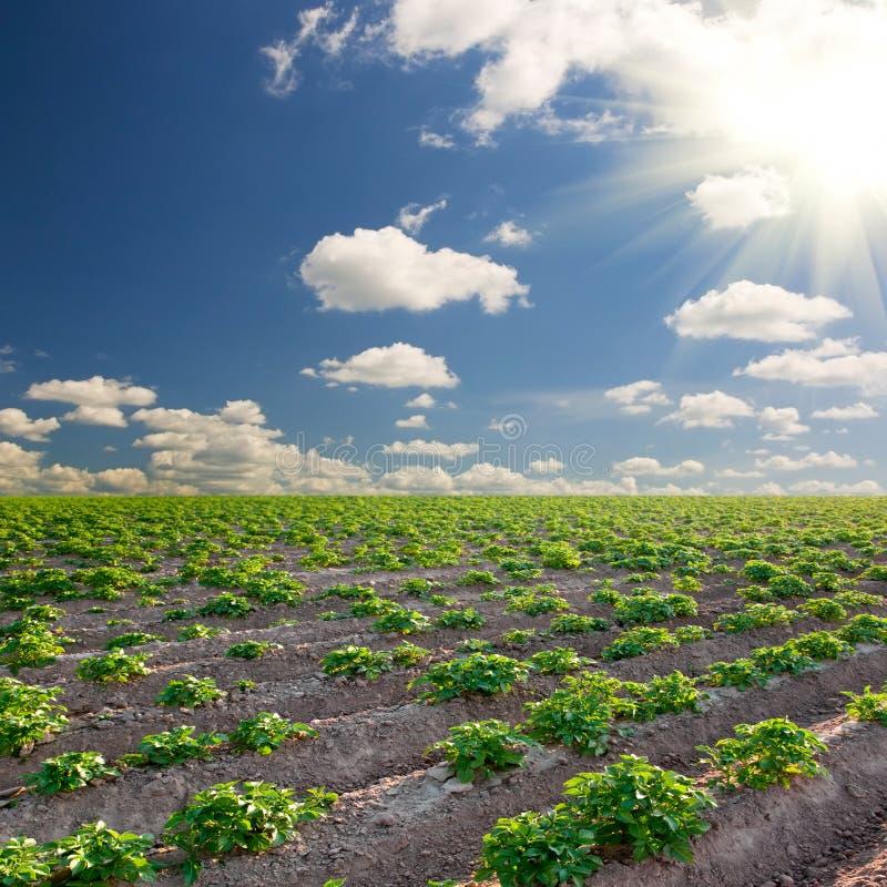 Campo da batata em um por do sol sob o céu azul fotografia de stock royalty free