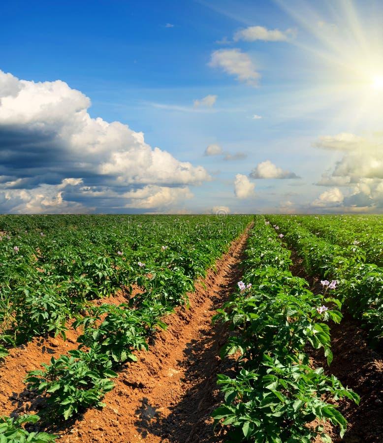 Campo da batata em um por do sol sob o céu azul fotos de stock royalty free