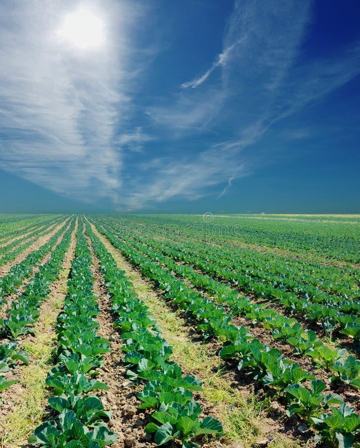 Campo da batata em um por do sol sob o céu azul foto de stock
