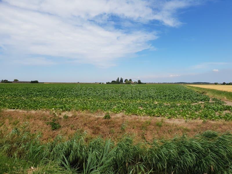 Campo da batata no po'lder de Wilde Veenen em Waddinxveen os Países Baixos imagem de stock