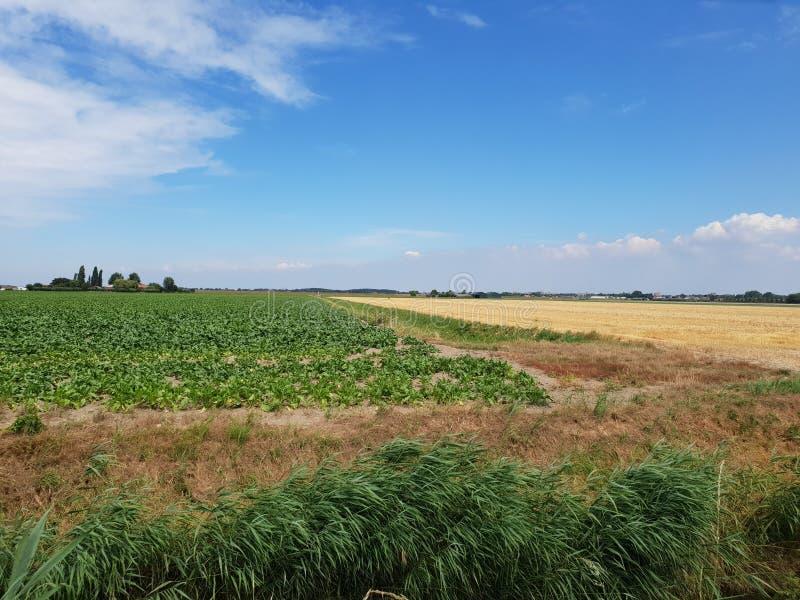 Campo da batata no po'lder de Wilde Veenen em Waddinxveen os Países Baixos imagem de stock royalty free