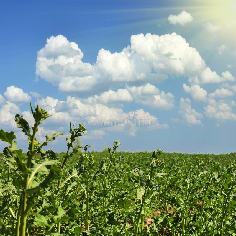 Campo da batata no por do sol sob o c?u azul foto de stock