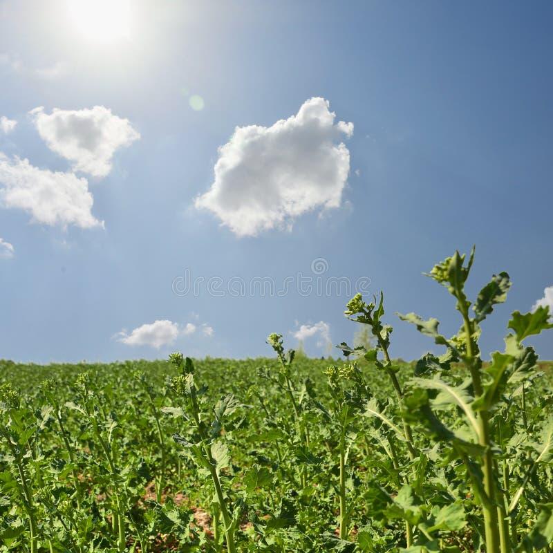 Campo da batata no por do sol sob o c?u azul fotos de stock