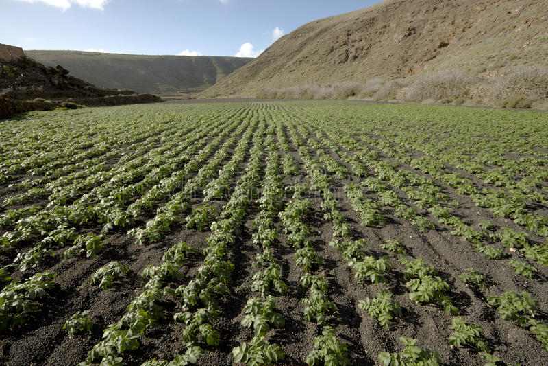 Campo da batata no solo vulcânico foto de stock royalty free