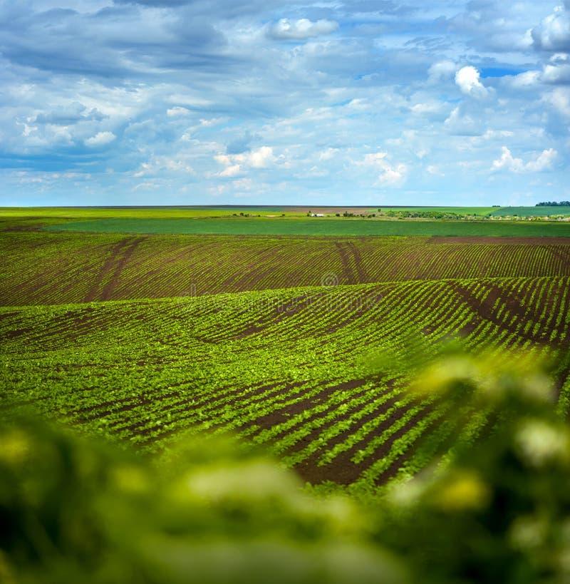 Campo da beterraba, paisagem agrícola dos montes imagem de stock royalty free
