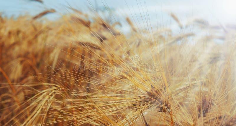 Campo da cevada nos raios de sol fotos de stock
