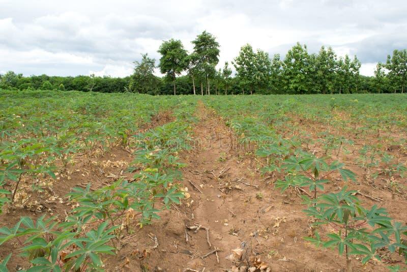 Download Campo Da Colheita Da Mandioca Imagem de Stock - Imagem de botany, colheita: 29840037