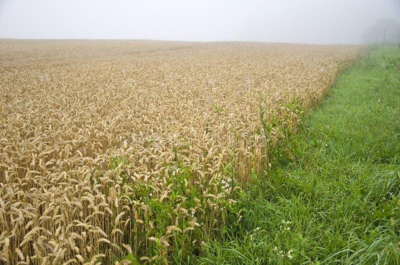 Campo da colheita do trigo do verão e névoa da manhã imagens de stock royalty free