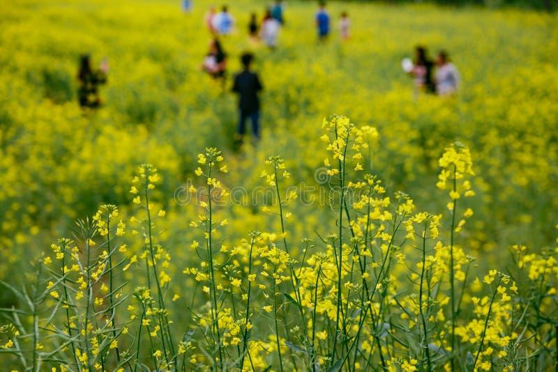 Campo da colza em Jeju, Coreia do Sul imagens de stock
