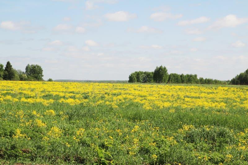 Campo da colza na região de Kostroma, Rússia foto de stock