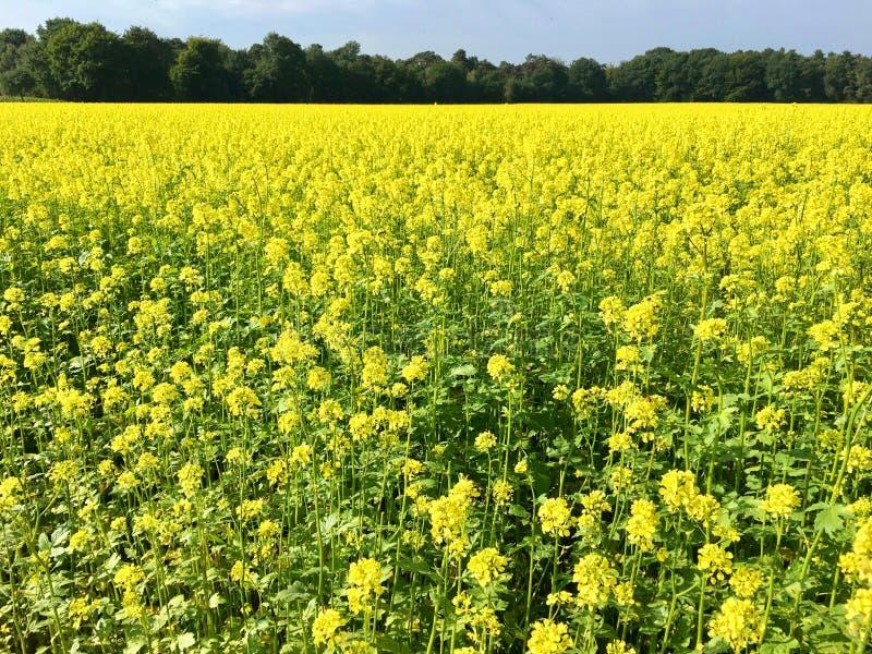 Campo da colza no amarelo brilhante no verão fotografia de stock royalty free