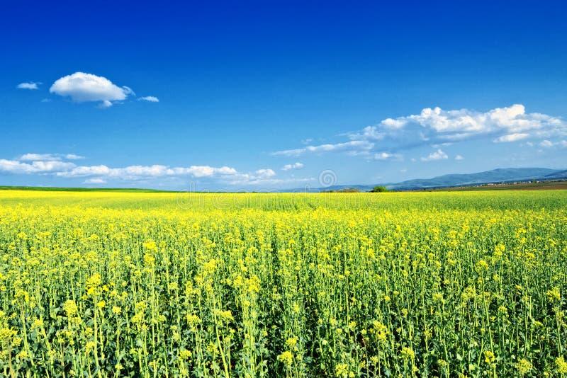 Campo da colza que floresce sob o céu azul fotos de stock royalty free