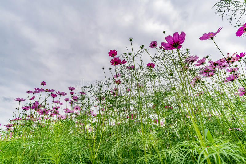 Campo da flor do cosmos foto de stock royalty free