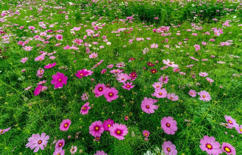 Campo da flor do cosmos fotos de stock royalty free