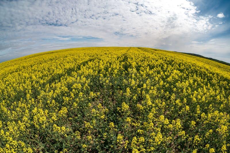 Campo da flor dourada da primavera bonita da colza com céu azul, couve-nabiça do canola no napus latino do Brassica com estrada r imagem de stock