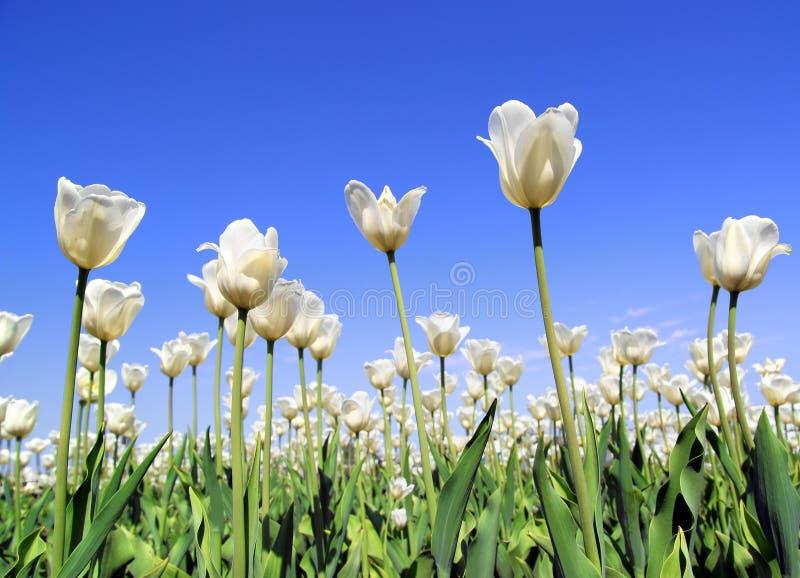 Campo da florescência branca das tulipas imagem de stock