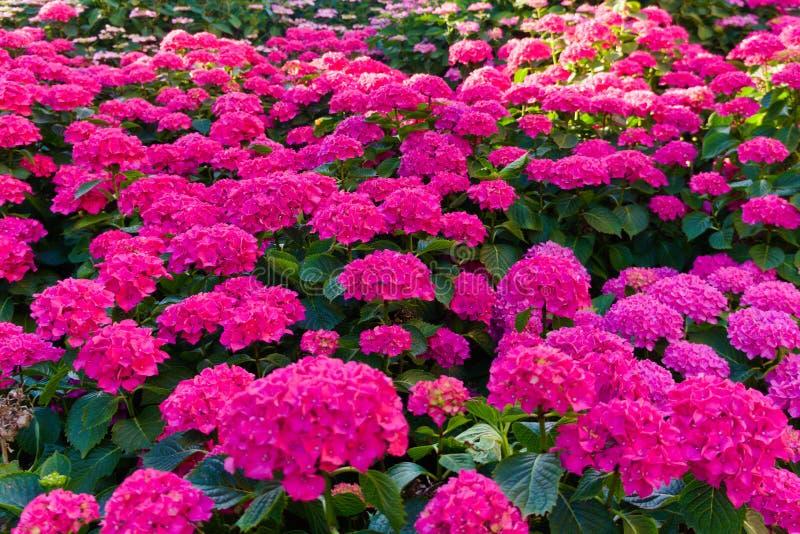 Campo da florescência cor-de-rosa das flores fotos de stock