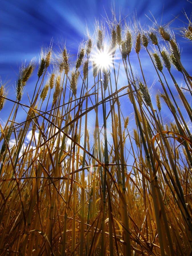 Campo da grão do trigo imagens de stock