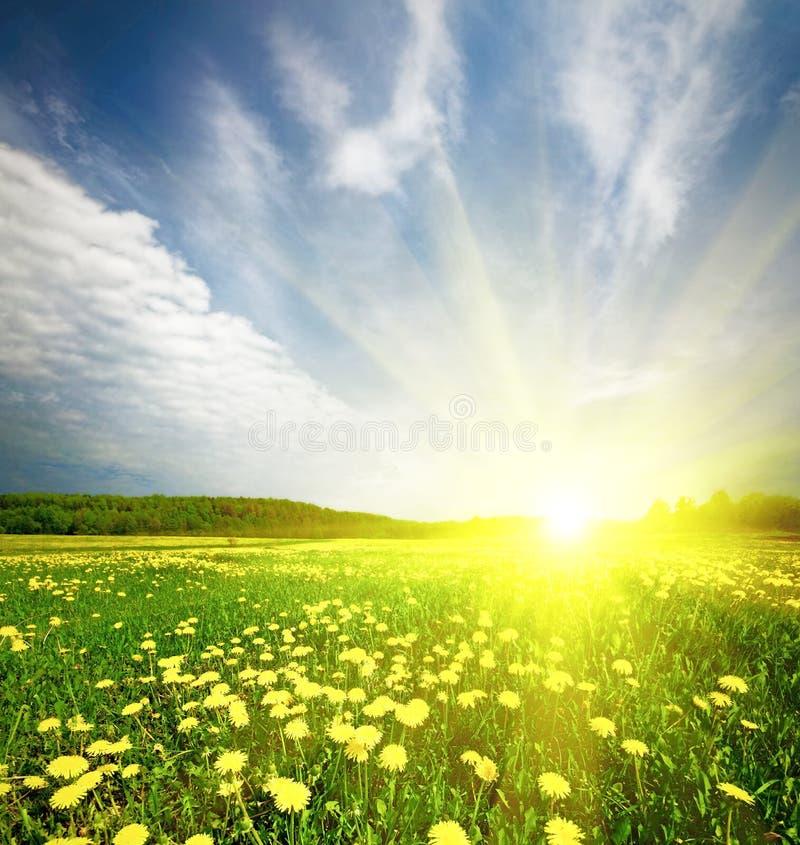 Campo da grama com o dente-de-leão no por do sol imagens de stock royalty free