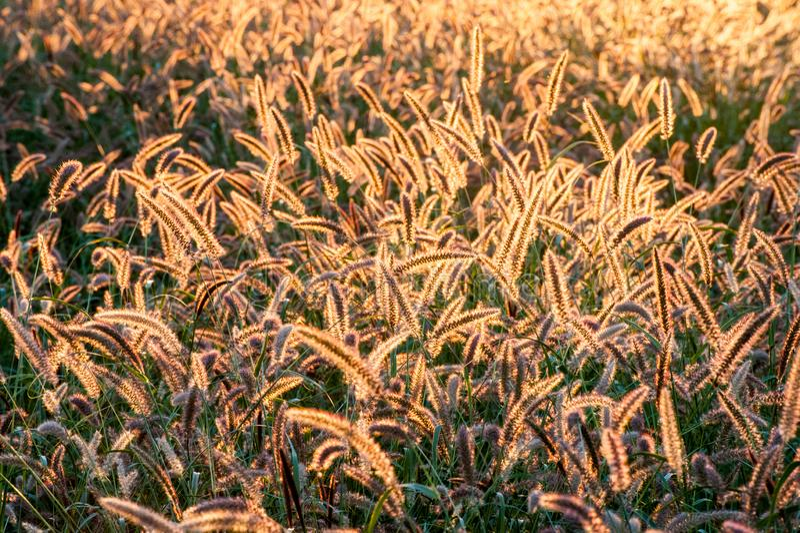 Campo da grama constante iluminada traseira da cauda da raposa que incandesce da luz solar foto de stock royalty free