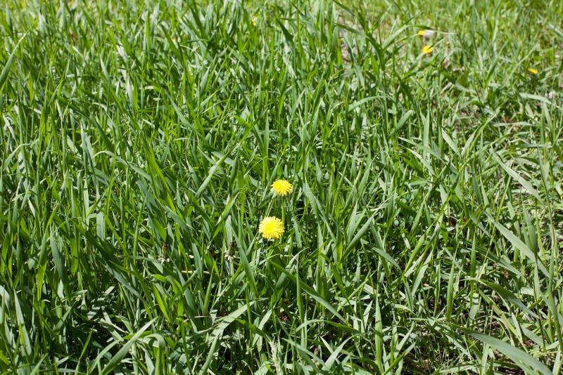 Campo da grama verde com margaridas das flores A camomila é cercada pelo gramado Vista superior foto de stock