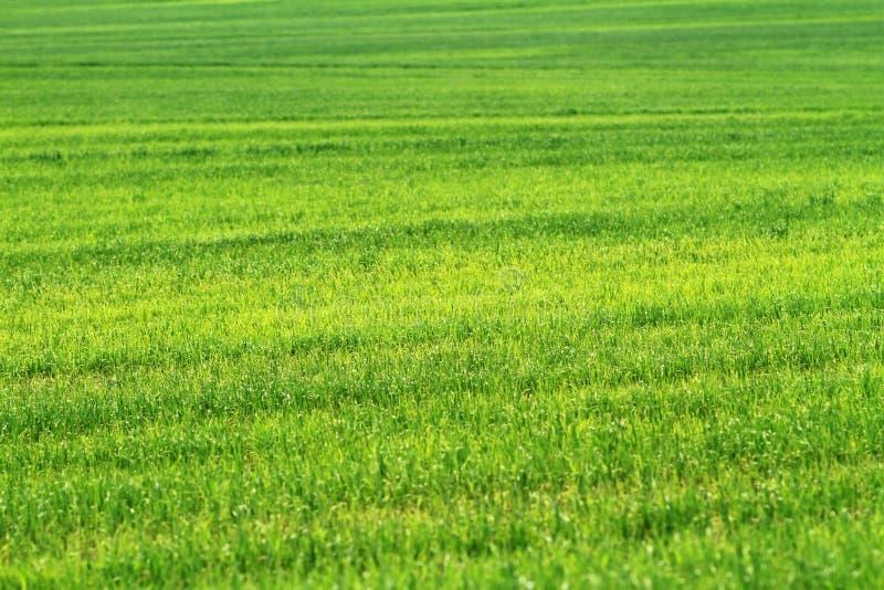 Campo da grama verde do trigo imagem de stock