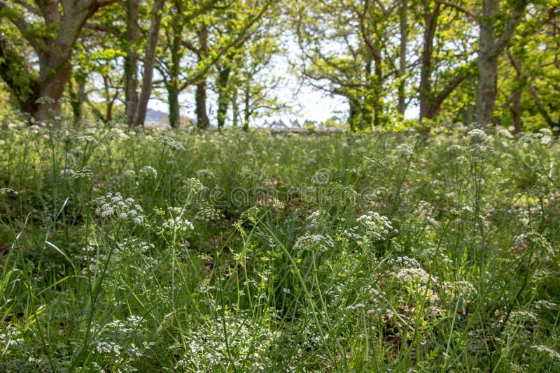 Campo da mola com ?rvores e flores do yarrow Plantas curas e medicinais Paisagem galega imagens de stock