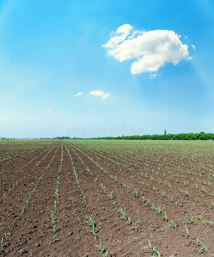 Campo da mola com os tiros pequenos do milho e da nuvem branca no céu imagem de stock royalty free