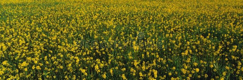 Campo da mola da semente de mostarda amarela imagens de stock