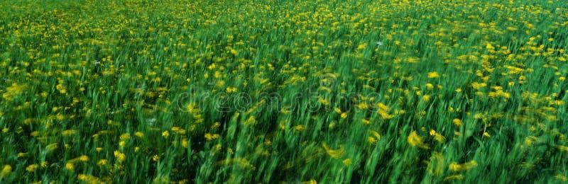 Campo da mola de plantas amarelas da mostarda imagem de stock royalty free