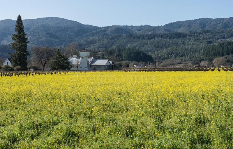 Campo da mostarda em Napa Valley foto de stock