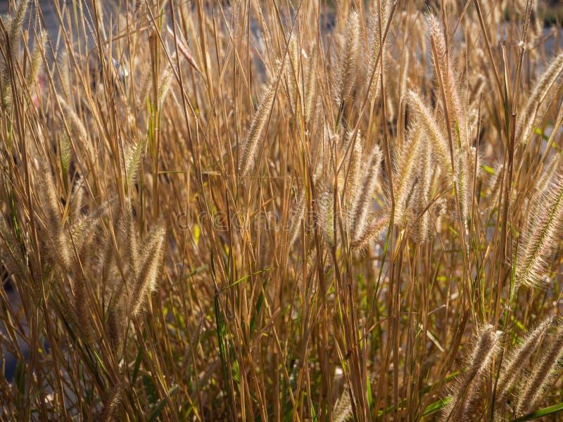 Campo da natureza do Pennisetum macio da pena da grama da missão no backg fotografia de stock