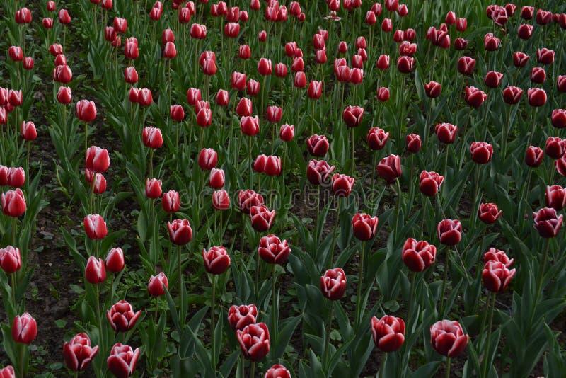 Campo da obscuridade - tulipas vermelhas fotografia de stock
