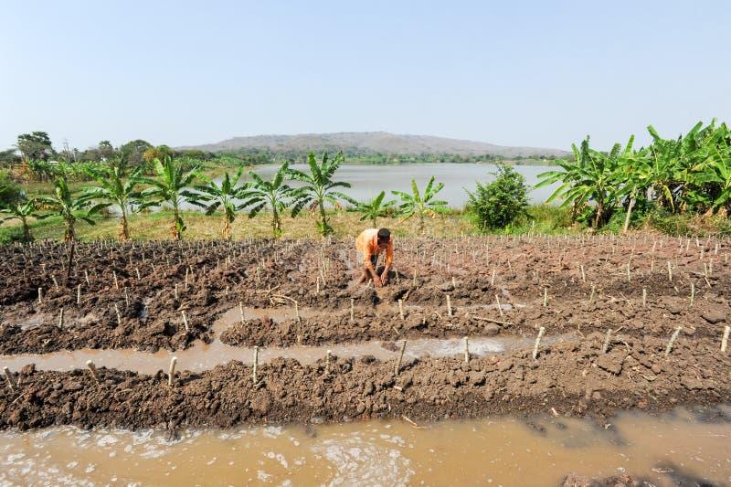 Campo da papaia em Buriram, Tailândia fotos de stock royalty free