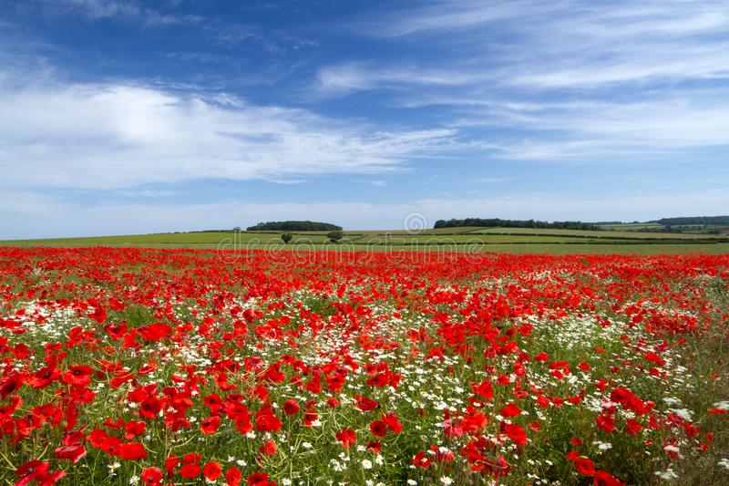 Campo da papoila, angra norte, Norfolk, Reino Unido imagem de stock royalty free