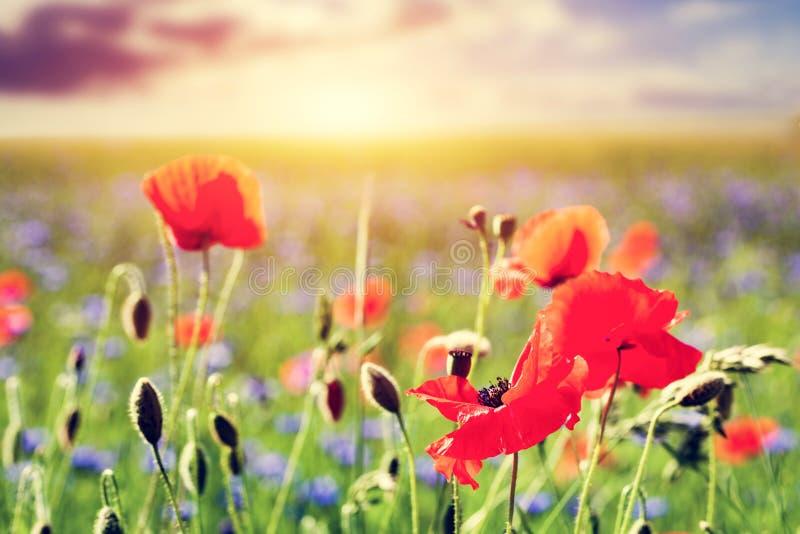 Campo da papoila, close-up das flores das papoilas Paisagem do verão no por do sol fotografia de stock