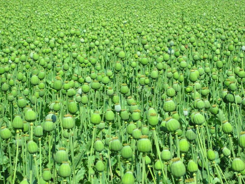 Campo da papoila de ópio grande fotografia de stock