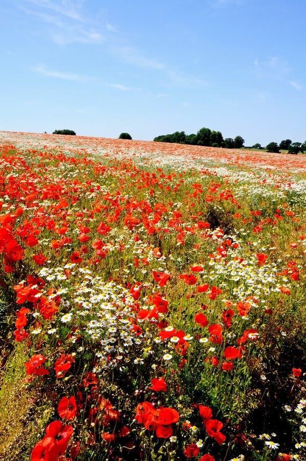 Campo da papoila, Lichfield, Inglaterra. imagens de stock royalty free