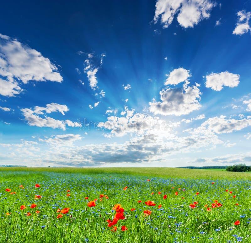 Campo da papoila, paisagem do campo do verão com o céu ensolarado azul fotografia de stock