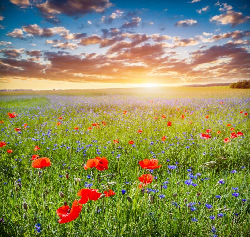 Campo da papoila, paisagem do campo do verão no por do sol fotos de stock