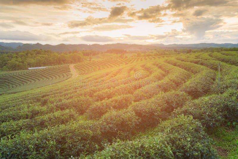 Campo da plantação de chá verde sobre o monte alto fotografia de stock royalty free