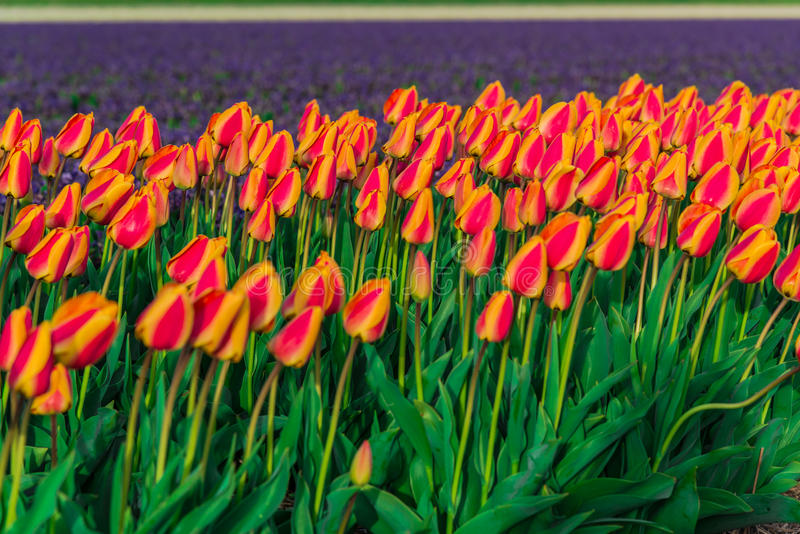 Campo da tulipa e moinhos velhos no netherland fotos de stock royalty free