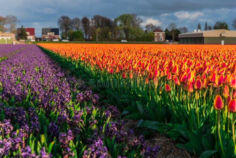 Campo da tulipa e moinhos velhos no netherland imagens de stock