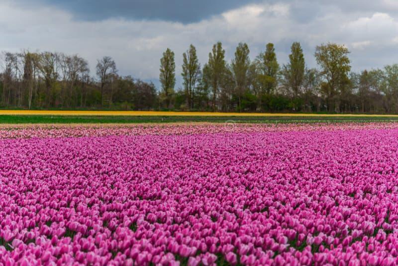 Campo da tulipa e moinhos velhos no netherland imagem de stock