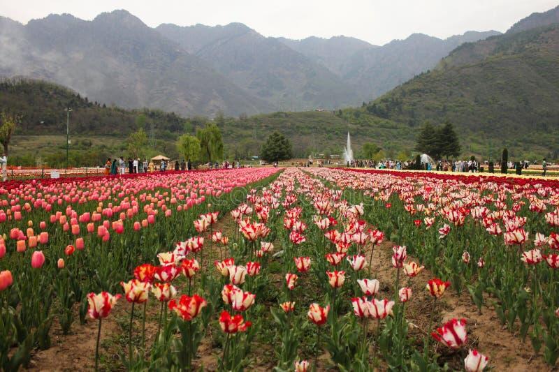Campo da tulipa em Kashmir, Índia fotos de stock royalty free
