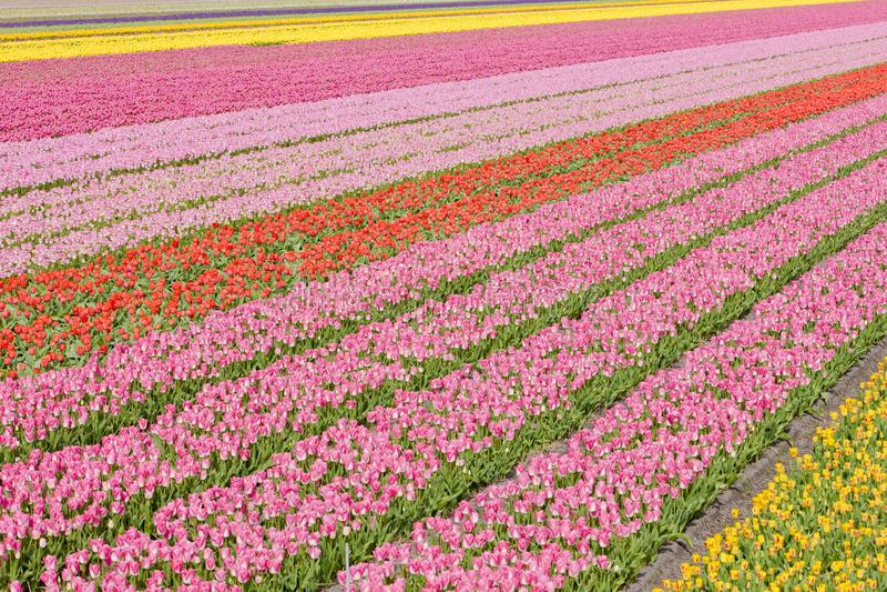 campo da tulipa perto de Noordwijk, Países Baixos imagem de stock