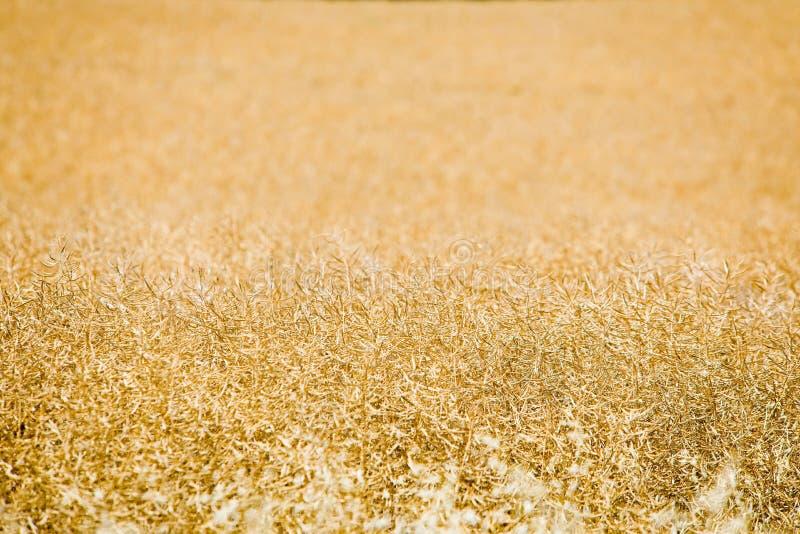Campo da violação de semente oleaginosa antes da colheita imagem de stock