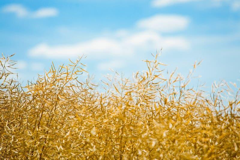 Campo da violação de semente oleaginosa antes da colheita imagens de stock