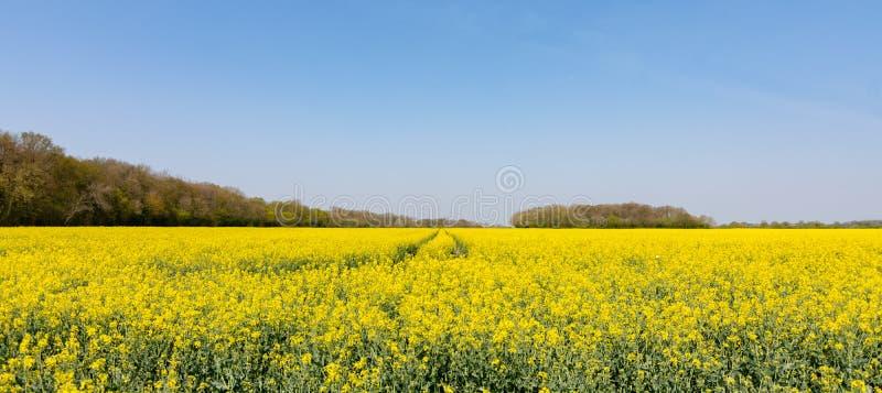 Campo da violação de semente oleaginosa ou do canola amarelo brilhante fotografia de stock